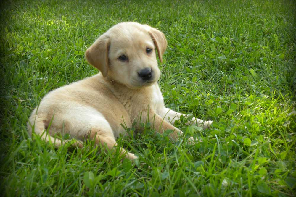 Country Retriever Puppies | Our Puppies